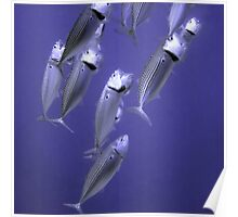 Fish Feeding with Mouths Open Poster