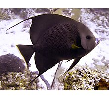 Black Angelfish From Side Photographic Print