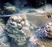 Blue Spotted Ray Feeding by SerenaB