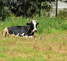 Cow in a Field of Alfalfa by rhamm