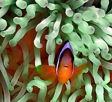 Clownfish in Pale Green Anemone by SerenaB