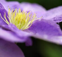 Rainy day Clematis by Audrey Clarke