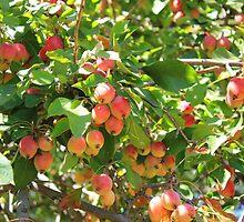 Ornamental Apples on a Tree by rhamm