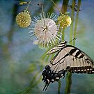 Eastern Tiger Swallowtail on Button Ball Bush by Bonnie T.  Barry