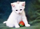 White  Kitten  by Elaine  Manley