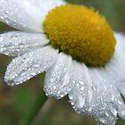 Daisy Dew Drops by Tracy Wazny