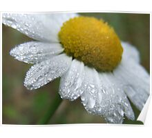 Daisy Dew Drops Poster