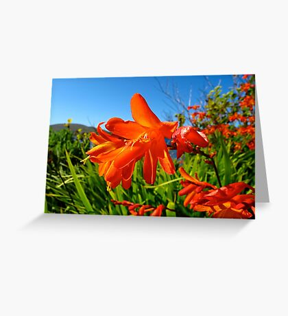 Montbretia Greeting Card