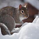 Grey Squirrel by Brad Sumner