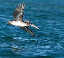 Soaring - Pelican- Galapagos Islands - Titus Nelson by Silverview