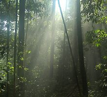 Shafts of Sunlight Through Rainforest Tree Canopy Borneo by HotHibiscus