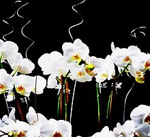 Blooming White Orchids by exoticflowing
