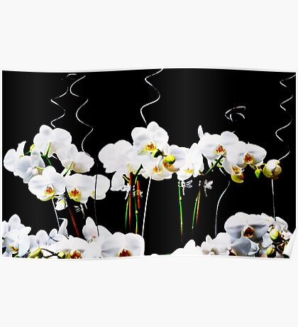 Blooming White Orchids Poster