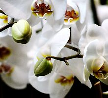 Bright White Orchids by exoticflowing