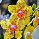 Decorative  Orchids by exoticflowing