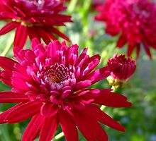 A New Red Marguerite Daisy by Gabrielle  Lees