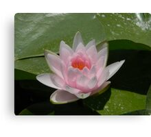 Water Lily With Sprinkles Canvas Print