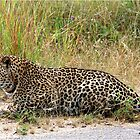 AMAZING BLENDING - THE LEOPARD - Panthera pardus by Magaret Meintjes