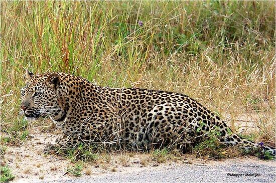 AMAZING BLENDING - THE LEOPARD - Panthera pardus by Magaret Meintjes