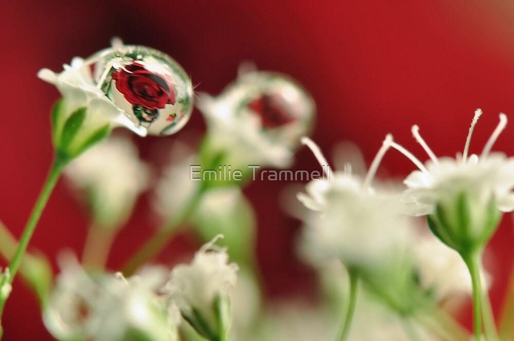 Rose Drop by Emilie Trammell