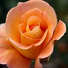 Apricot Beauty Rose 4 by TeAnne