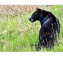 Young Black Bear Foraging Photographic Print