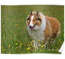 Rough Collie in the Fields Poster