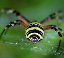 Argiope by jimmy hoffman