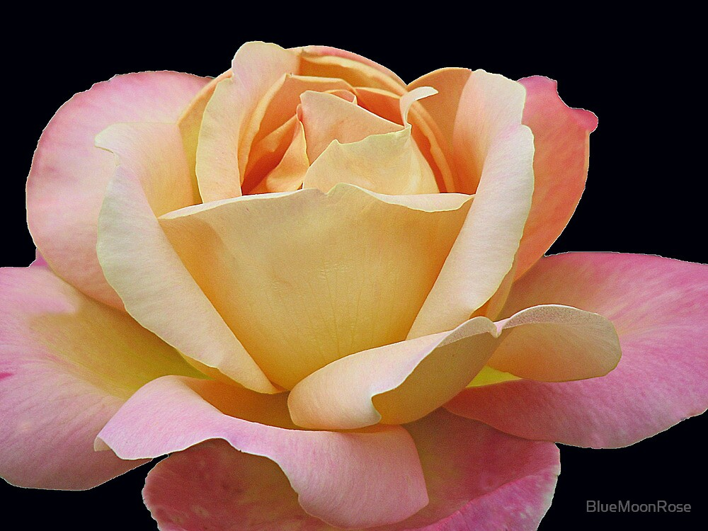 Gracious Rose by BlueMoonRose