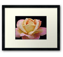 Gracious Rose Framed Print