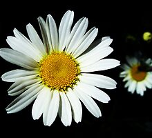 Daisy by Rewards4life