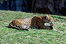 A Leopard  by barnsis