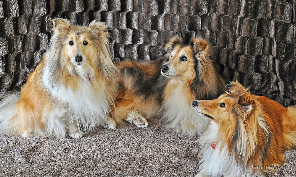 For the Love Of Shelties by JaninesWorld
