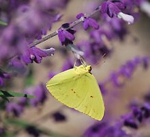 Cloudless Sulphur (Phoebis sennae) on Blue Salvia by Linda Trine