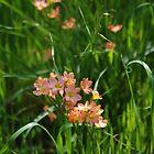 Wild Flowers in York (Cape Tulips) by lezvee