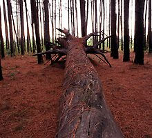 Pine forest by imagekinesis