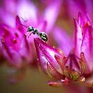 Ant on a Sedum Flower by Geoff Carpenter