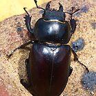 Female Rhino Beetle by Terry Senior