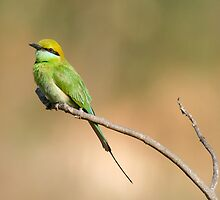 Green Bee Eater by MallikM