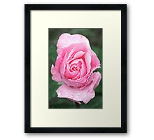 Pink Rose in the Rain Framed Print
