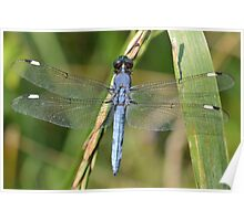 Male Spangled Skimmer Poster