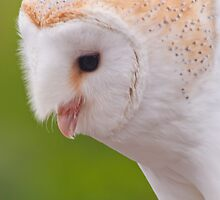 Barn Owl Portrait  by Margaret S Sweeny