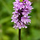 Common spotted orchid by Sandra O'Connor