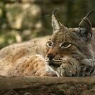 Lynx - Lazy concentration by steppeland