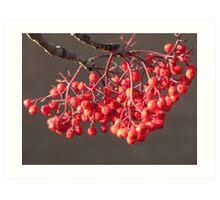 Sun Kissed Berries Art Print