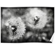black and white dandelions Poster