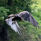 VULTURE IN FLIGHT by Van Coleman