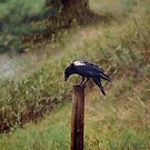 White Wing (Raven) by Skye Ryan-Evans