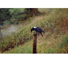 White Wing (Raven) Photographic Print