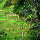 Paddy's field by su2anne